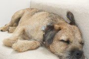 Dexter-Border-Terrier-Upcycled-Furniture-Junk-Gypsies